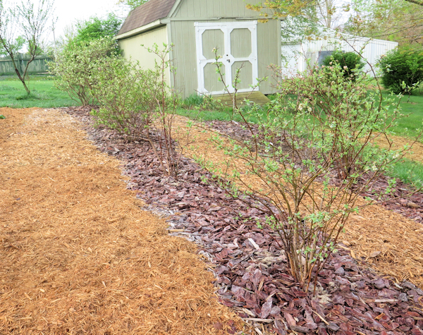 row of blueberry plants