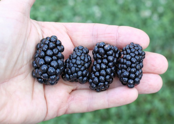 Natchez blackberries from last year