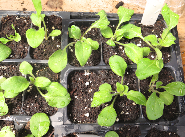 petunia seedlings at 4 weeks