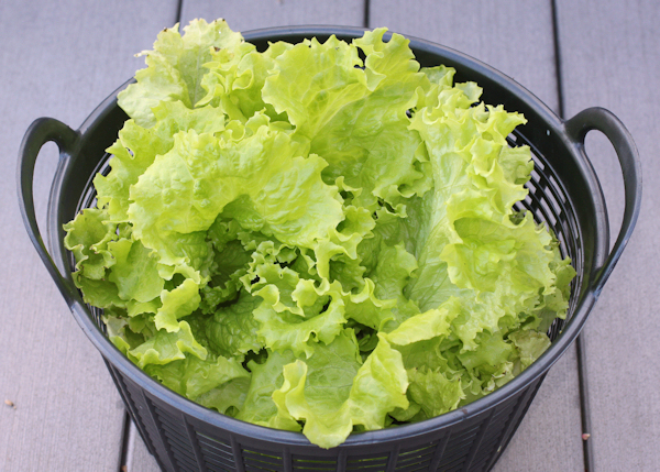 Simpson Elite lettuce harvest