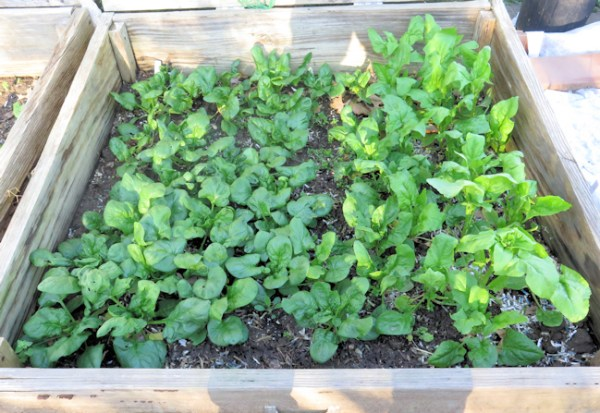 spinach bed with bolting plants