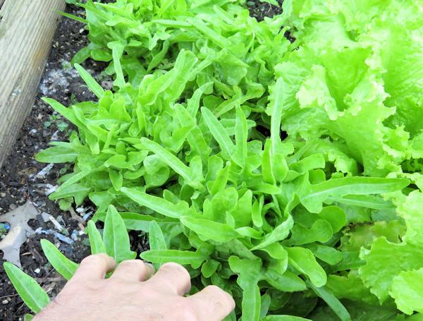 Baby Oakleaf lettuce