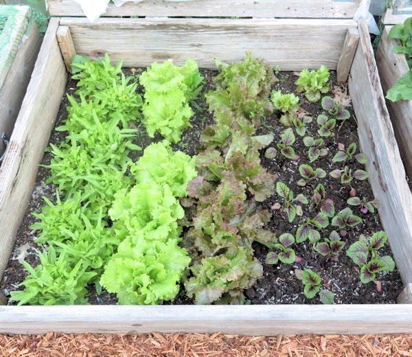 cold frame bed with lettuce and leaf amaranth