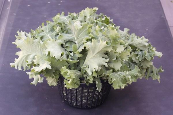 harvest of True Siberian kale