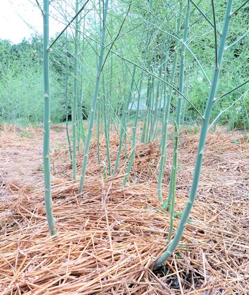 looking down the asparagus row