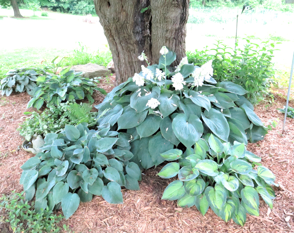 Big Daddy hosta blooming