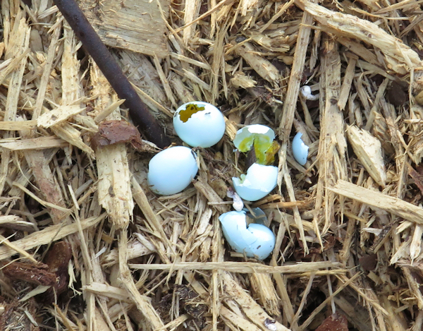 bluebird eggs destroyed by House Sparrow