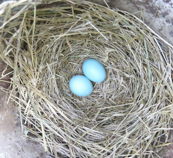 bluebird nest with 2 eggs
