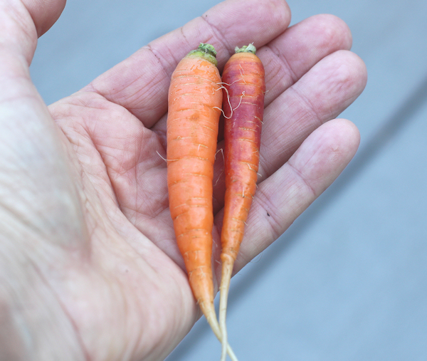 not quite ready for prime time carrots