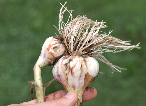 double bulb of Lorz Italian garlic