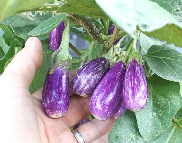 cluster of Fairy Tale eggplant