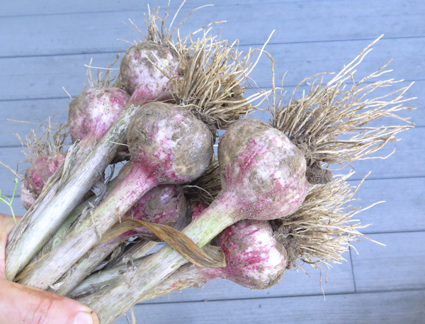 just harvested Red Janice garlic