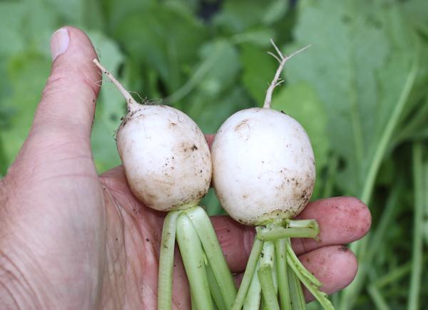 young Hakurei turnips