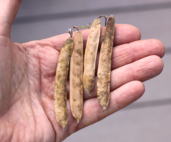 dried tepary bean pods