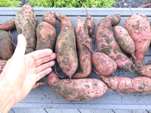 harvest of Beauregard sweet potatoes
