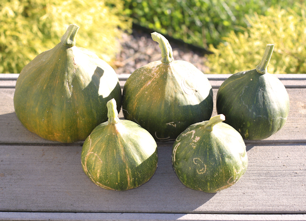 harvest of Seminole winter squash