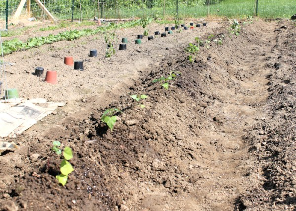 finished row of sweet potatoes after planting in 2013