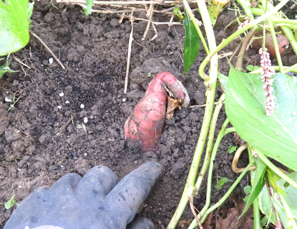 sweet potato poking up from soil