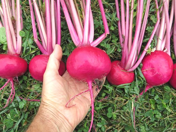 Tsugaru Scarlet turnips