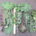 Wild Garden Kale Mix