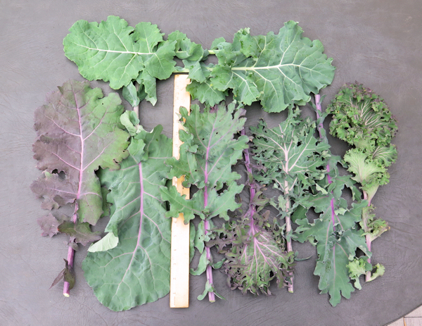 leaves from Wild Garden Kale mix