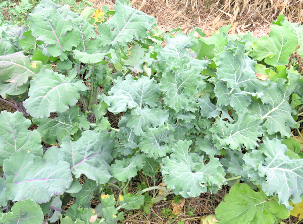 Wild Garden Kale with whitish leaves