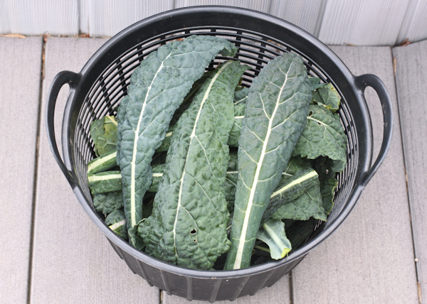 harvest of Lacinato kale