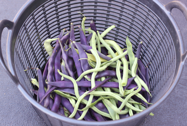 September harvest of pole beans