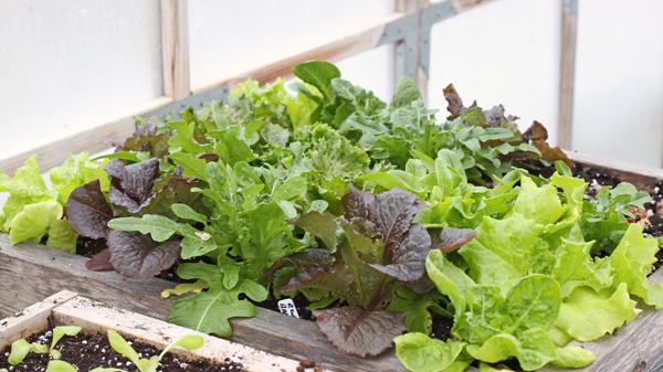 lettuce growing in salad box