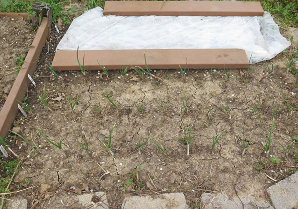 bed with onions and carrots planted