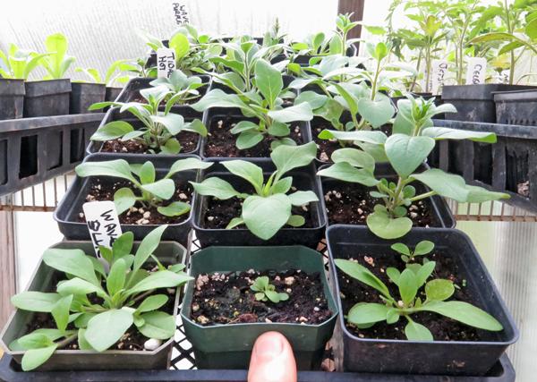 flat of Wave petunia seedlings