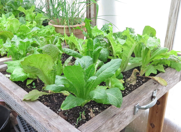 salad box with lettuce planted
