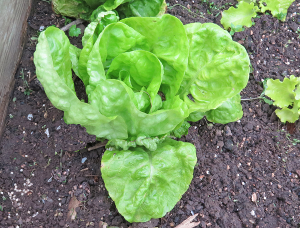 Winter Marvel butterhead lettuce
