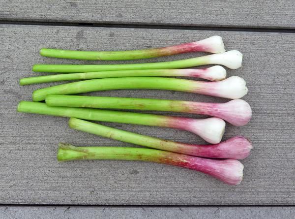 green garlic for garlic cream