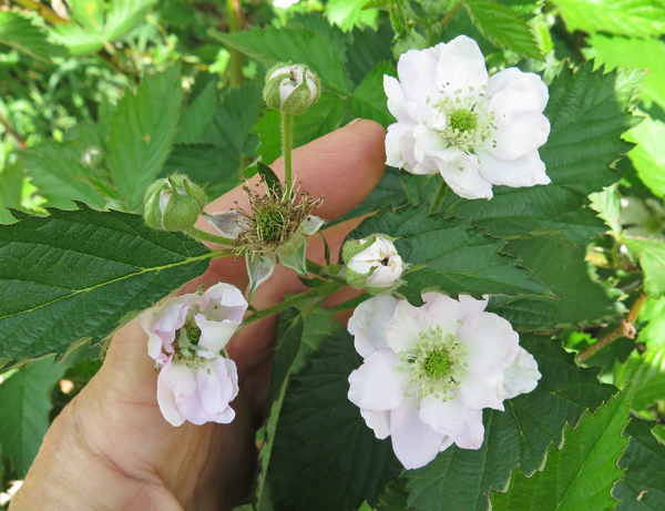 blooms on Natchez blackberries