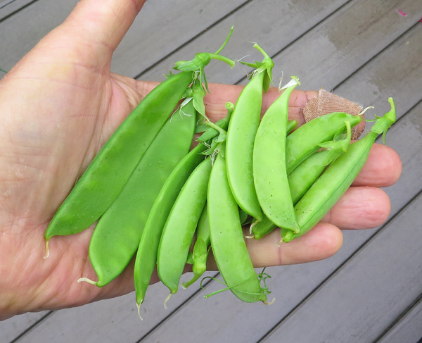 snow and snap peas