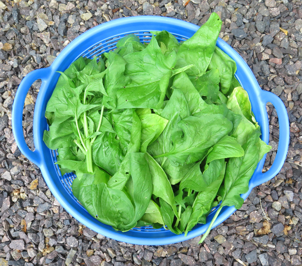 harvest of Viroflay spinach