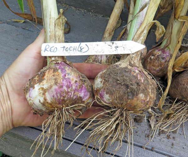 Red Toch garlic