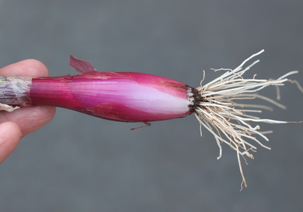 young Red Torpedo Tropea onion