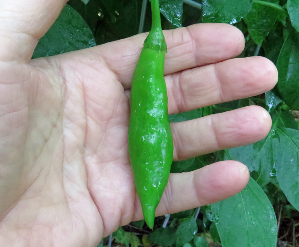 Aji Angelo pepper