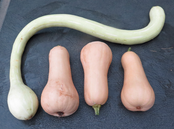 Early Butternut and tromboncino squash