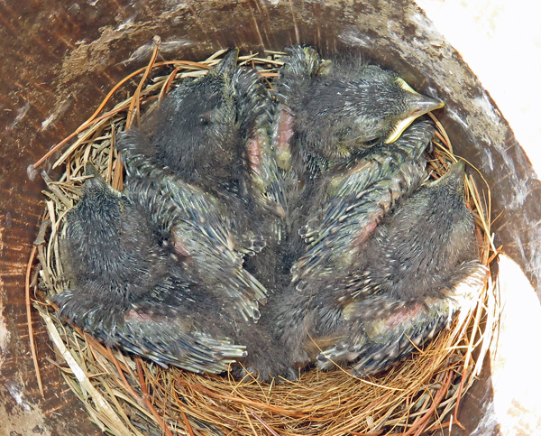 bluebird babies at 9 days old