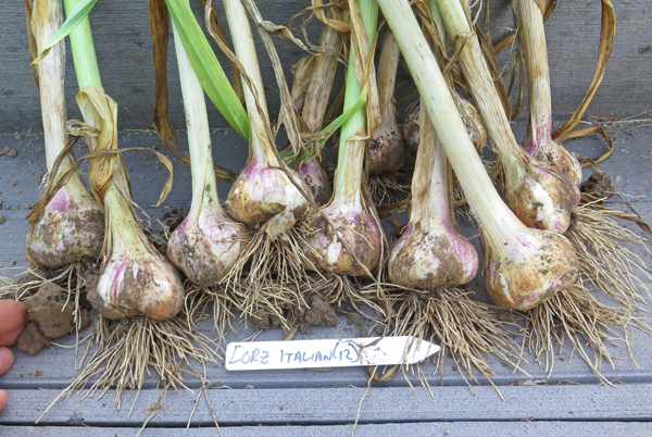 Lorz Italian garlic after digging
