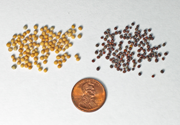 yellow(L) and brown(R) mustard seeds