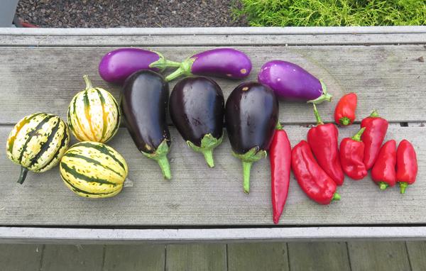 early September veggies harvest