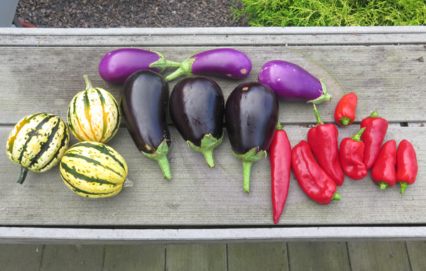 early September veggies harvest