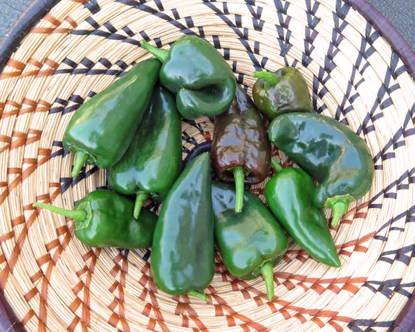 harvest of Bastan peppers