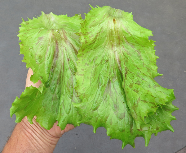 leaves of Jester lettuce
