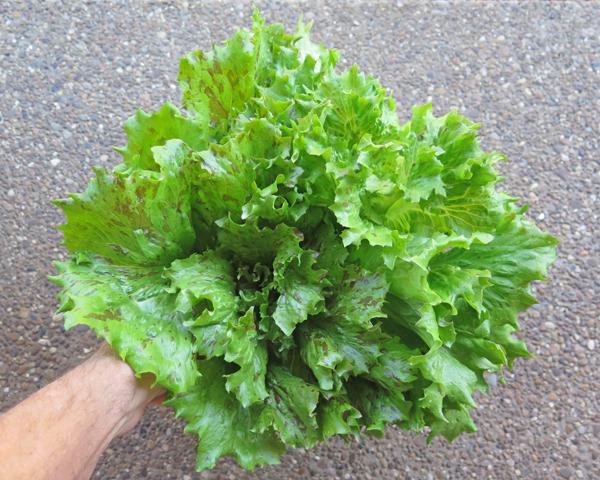 Jester lettuce