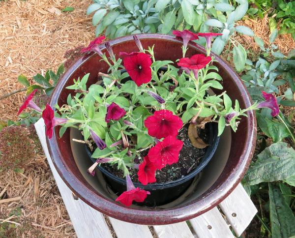 Easy Wave Red Velour petunias